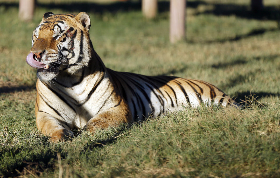 Photo - A tiger rests on the grass at the Garold Wayne Interactive Zoological Park, formerly known as the G.W. Exotic Animal Park, in Wynnewood, Okla., Monday, Oct. 7, 2013. Kelci Saffery, an employee at the park, was mauled by a different tiger on Saturday after she put her hand in the tiger's cage. Photo by Nate Billings, The Oklahoman
