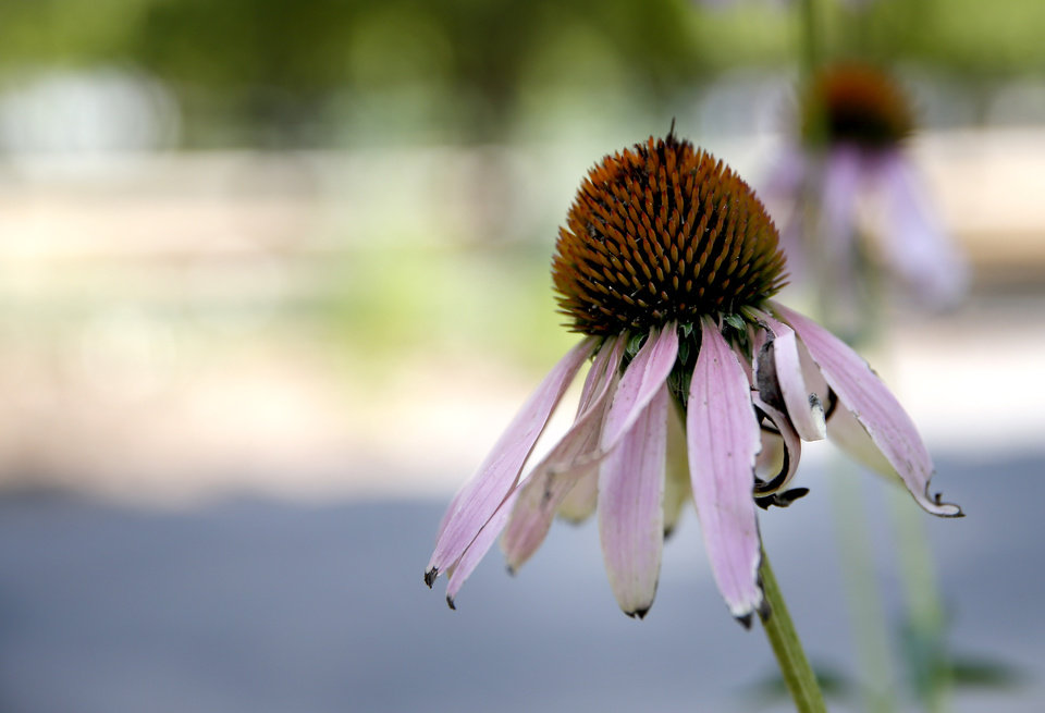 Photo - A purple coneflower is pictured in the Waterwise garden at the Myriad Botanical Gardens in downtown Oklahoma City,  Thursday, July 11, 2019. [Sarah Phipps/The Oklahoman]