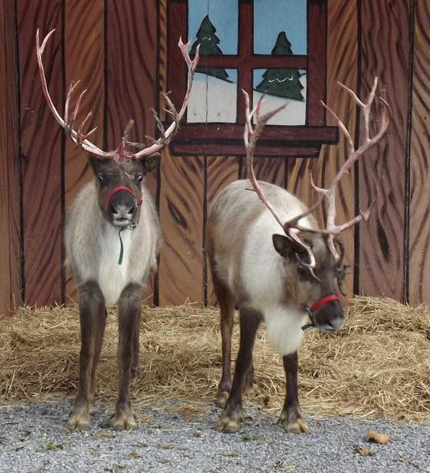 Photo -  Two reindeer will be present at the upcoming Holly Jolly Shops in Bricktown on Dec. 8 and 9. The reindeer will be at the shops from 3 to 7 p.m. Saturday and noon to 5:30 p.m. Sunday.