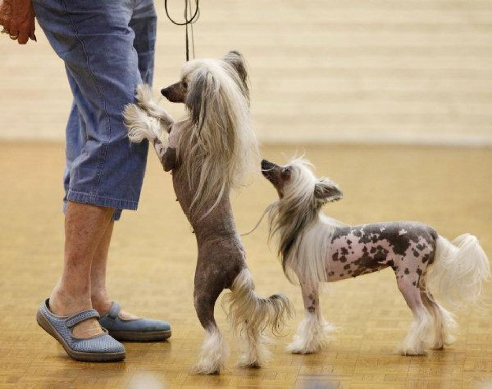 Chinese Crested Show Kicks Off Dog Filled Weekend