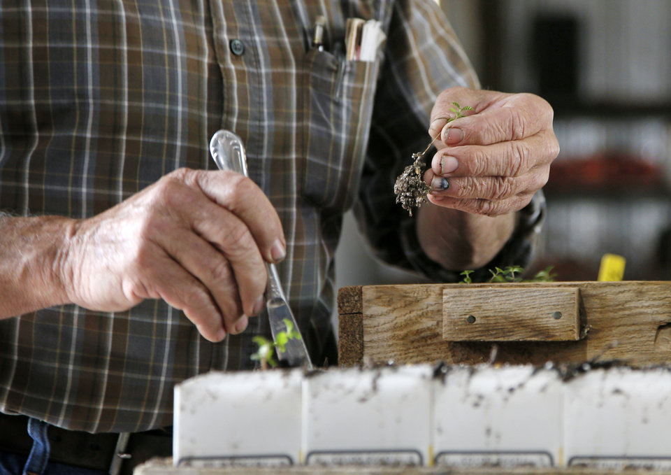 Photo -  Steve Bieberich, horticulturist and owner of Sunshine Nursery in Clinton, shows the process of transplanting a sprouting elm seed. [Photo by Nate Billings, The Oklahoman]