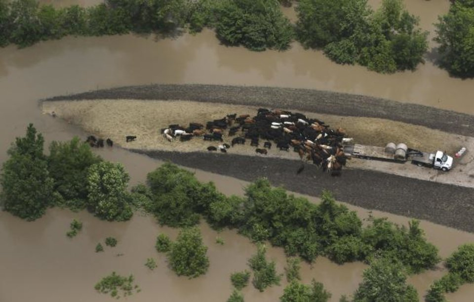 Photo -  Cattle are fed on high ground during flooding on Bird Creek near North Yale on Wednesday. [Tom Gilbert/Tulsa World]