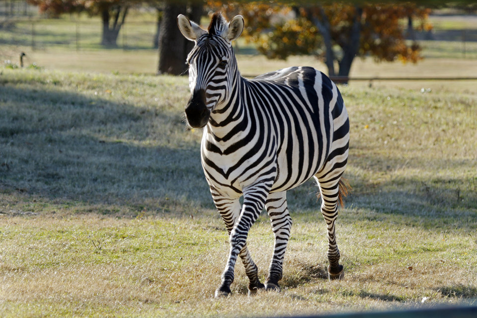 Photo -  A zebra approaches guests at Arbuckle Wilderness Park in Davis. [Photo by Steve Sisney, The Oklahoman]