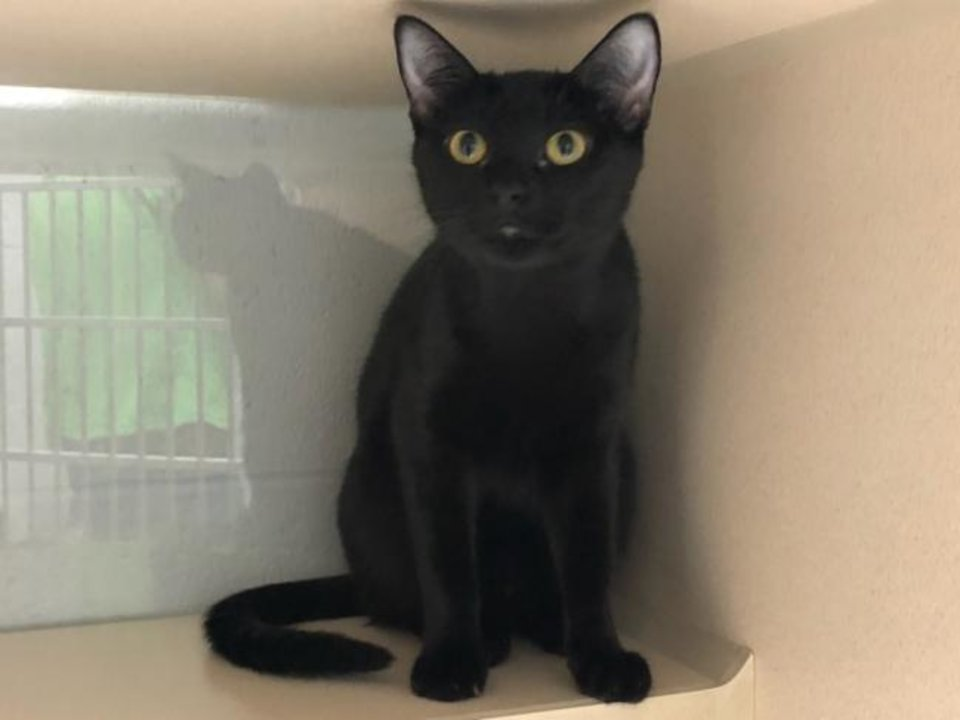 Photo -  Bombay is a beautiful black domestic shorthair that is about 1 year old. She is petite and adorable. The Edmond Animal Welfare shelter is open on a limited basis due to COVID-19 and construction. Call 405-216-7615 to set up an appointment to meet Bombay. The shelter is at 2424 Old Timbers Road. [PHOTO PROVIDED]