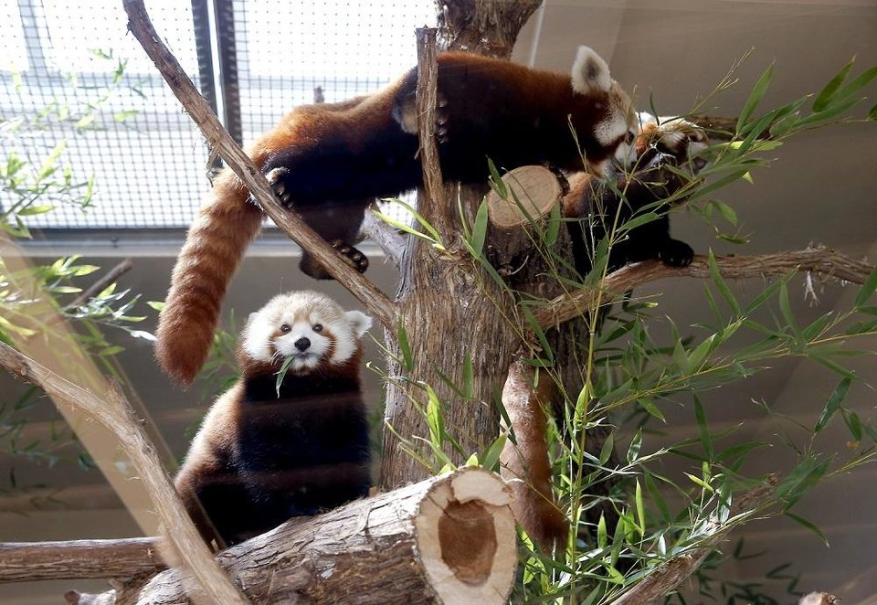 Photo - Red pandas eat bamboo in their habitat during a live social media feed at the Oklahoma City Zoo and Botanical Garden in Oklahoma City, Okla., Thursday, March 26, 2020.  [Sarah Phipps/The Oklahoman]