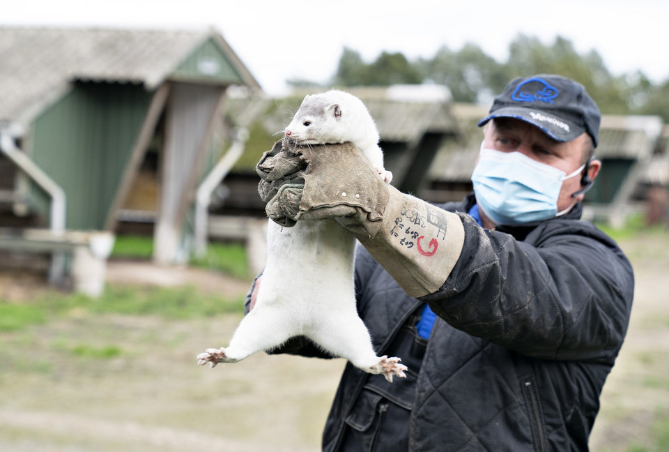 Photo -  Mink breeder Thorbjoern Jepsen holds up a mink, as police forcibly gained access to his mink farm in Gjoel, Denmark, Friday,  Oct. 9, 2020. The culling of at least 2.5 million minks in northern Denmark has started, authorities said Monday after the coronavirus has been reported in at least 63 farms. The Danish Veterinary and Food Administration is handling the culling of the infected animals while breeders who have non-infected animals on a farm within 8 kilometers (5 miles) from an infected farm must put them to sleep themselves.   (Henning Bagger /Ritzau Scanpix via AP)