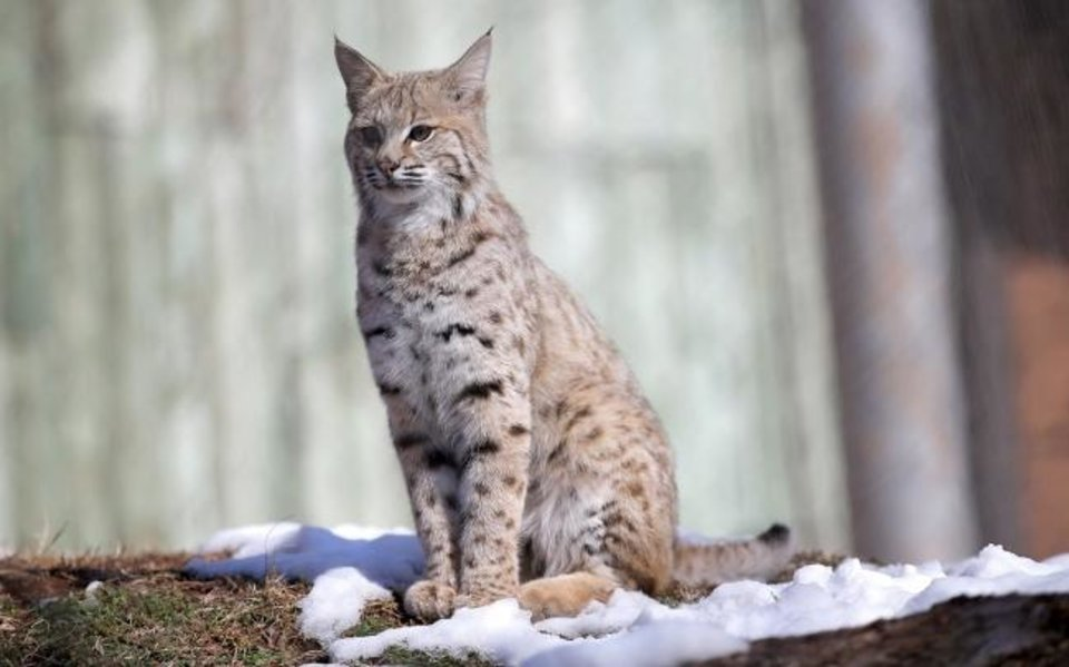 Photo -  Dodger, a bobcat, stands on snow on Feb. 6, 2020, in his habitat at the Oklahoma City Zoo and Botanical Garden in Oklahoma City.  [Sarah Phipps/The Oklahoman Archives]