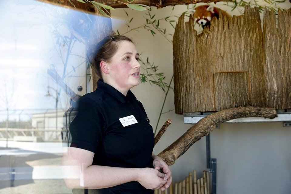 Photo - Animal caretaker Ambre Cook talks about the red pandas in their habitat in a live social media feed at the Oklahoma City Zoo and Botanical Garden in Oklahoma City,  Okla.,  Thursday, March 26, 2020.  [Sarah Phipps/The Oklahoman]
