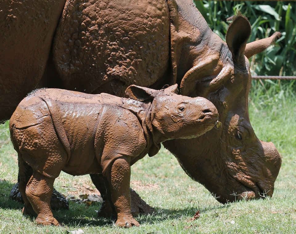 Photo - A newborn Indian rhinoceros, front, stands with his mother, Niki, rear, as she grazes at the Oklahoma City Zoo in Oklahoma City, Sunday, June 22, 2014. The as yet unnamed rhino was born at 5:20 pm at the zoo on June 21, 2014. The male calf is the fourth Indian rhino born at the Zoo since the Zoo added the species in 1981, but the first offspring for seven-year-old Niki. (AP Photo/Sue Ogrocki)