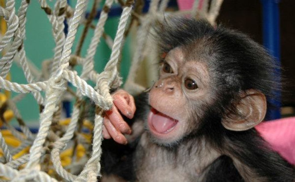Photo - Siri the chimpanzee was adopted by the Oklahoma City Zoo after her mother - the oldest chimp on record to give birth - couldn't care for her. For abouts six week, Siri had a feeding tube taped to her head that went through her nose and into her stomach.  Dr. Jen DÕAgostino - PHOTO PROVIDED