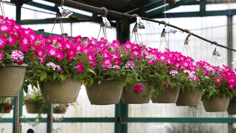 Photo -  Petunias in hanging baskets at Marcum's Nursery, 2121 SW 119.  [JIM BECKEL/THE OKLAHOMAN]