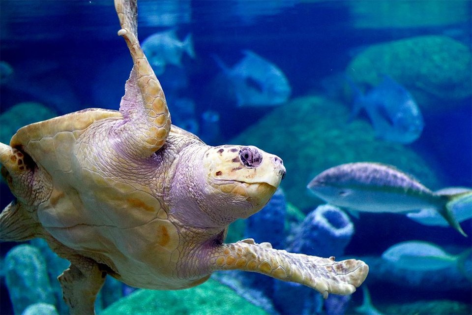 Photo - The Oklahoma Aquarium is offering new animal encounters, including behind-the-scenes opportunities with its loggerhead sea turtle, Seamore. [Photo provided]