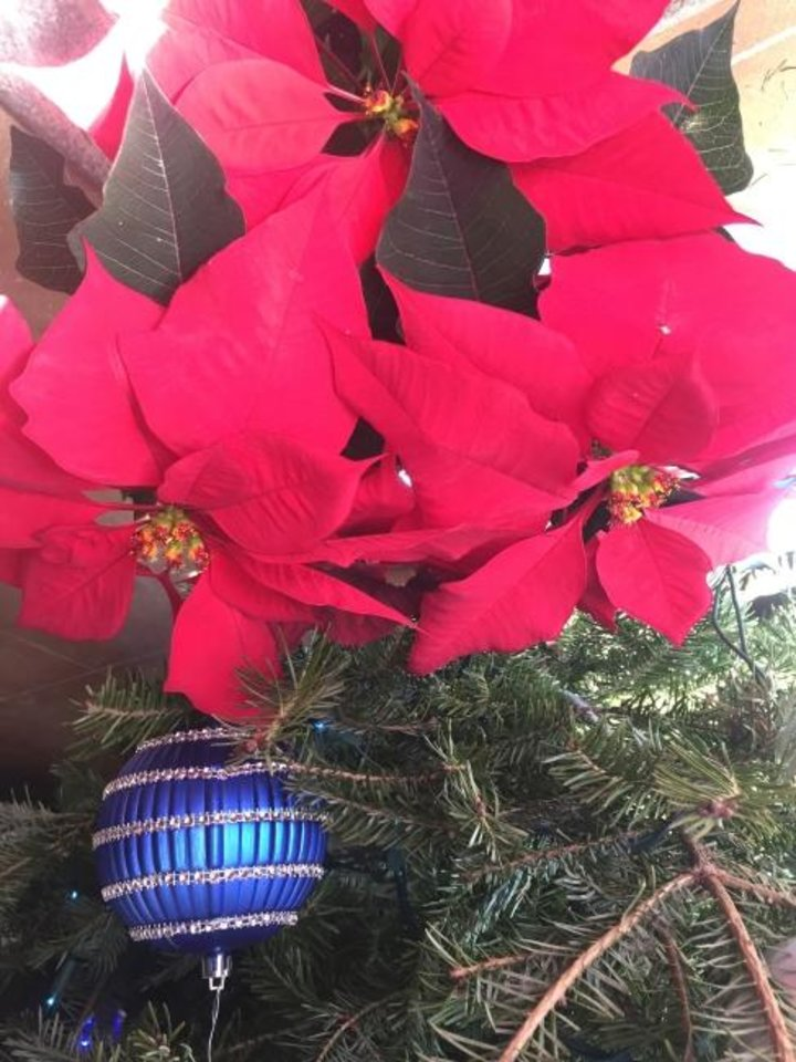 Photo -  The poinsettia, a traditional holiday plant, is native to Mexico. [PHOTO PROVIDED]