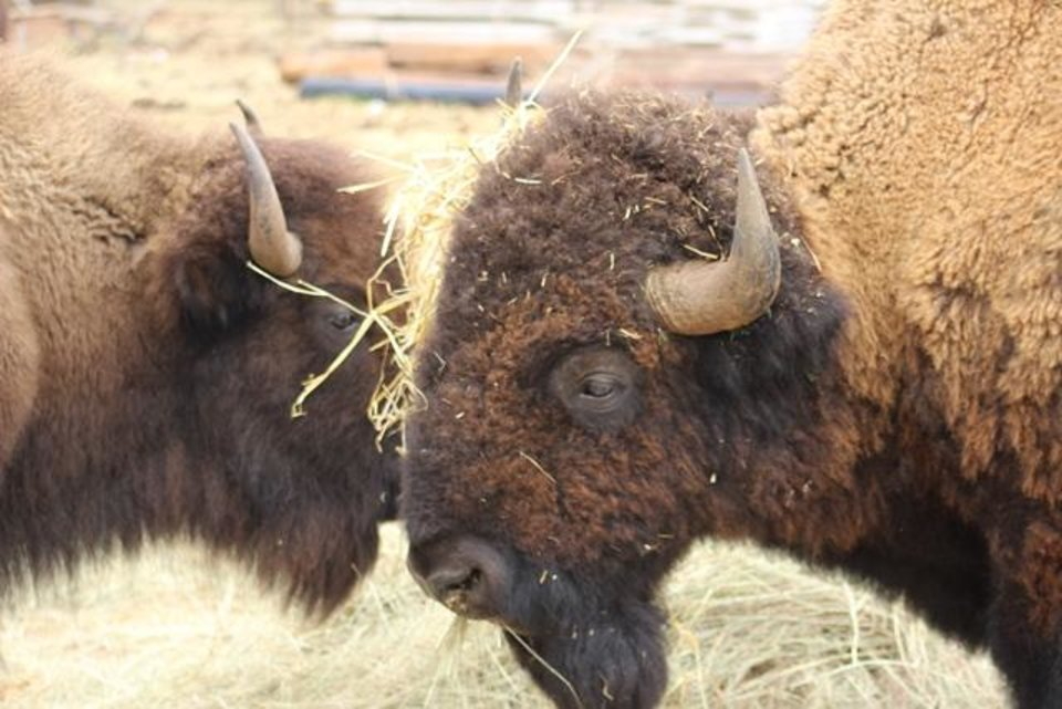 Photo - A herd of bison from Foss State Park are being auctioned off as state surplus. [Photo Provided]