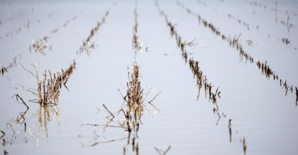 Photo -  Rows of farm land near Holly Bluff, Miss., are covered with backwater flooding, in this May 23 photo. [AP PHOTO]