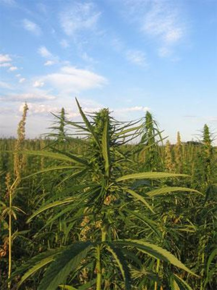 Photo -  So far, 31 states have moved to define hemp as distinct from marijuana, removing legal barriers to production, according to the Hemp Industries Association. [Photo provided by Vote Hemp]