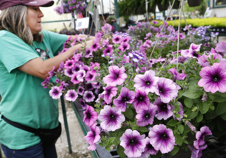 Photo -  Julia Hornbeck checks petunias at Marcum's Nursery, 2121 SW 119. She works in the greenhouse and is a decorative pots designer. [JIM BECKEL/THE OKLAHOMAN]