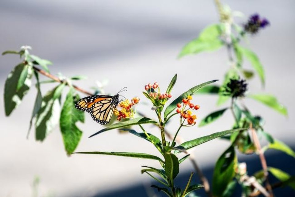 Photo -  Ken Sparks' small sidewalk garden, in front of his property, includes Lantana, perfect for attracting monarch butterflies. [TNS PHOTO]