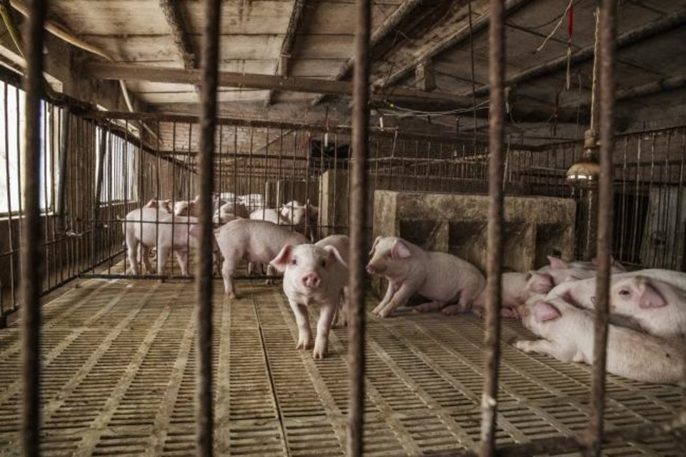 Photo -  Piglets are kept in pens at a pig farm in Langfang, Hebei province, China. [GILLES SABRIE/BLOOMBERG]
