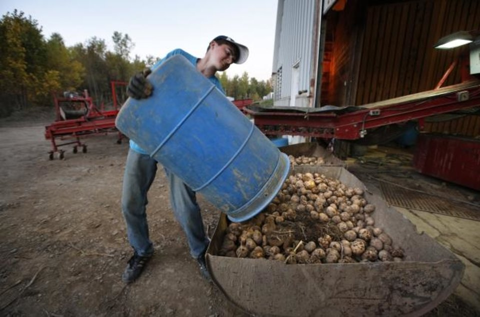 Photo -  Adam Paterson strains to dump a barrel of discarded potatoes during a 12-hour work day at a potato storage facility in Mapleton, Maine. [AP PHOTO]