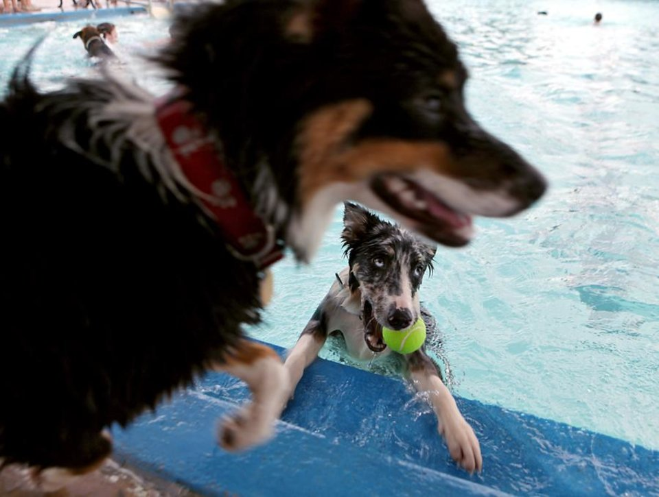Photo -  Doc Holiday (bottom) and other dogs swim and play during the Dog Park Pooch Pool Party at Westwood Swimming Pool in Oklahoma City on Sunday, August 29, 2010. Photo by John Clanton, The Oklahoman ORG XMIT: KOD