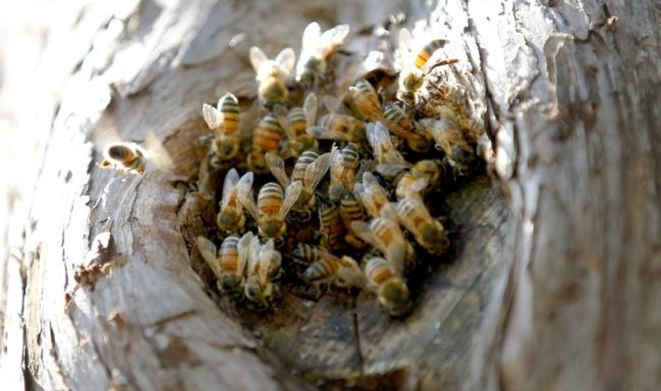 Photo -  Bees fly around their hive in a relocated tree trunk at Will Rogers Gardens in Oklahoma City after storms damaged the tree. [Sarah Phipps/The Oklahoman]