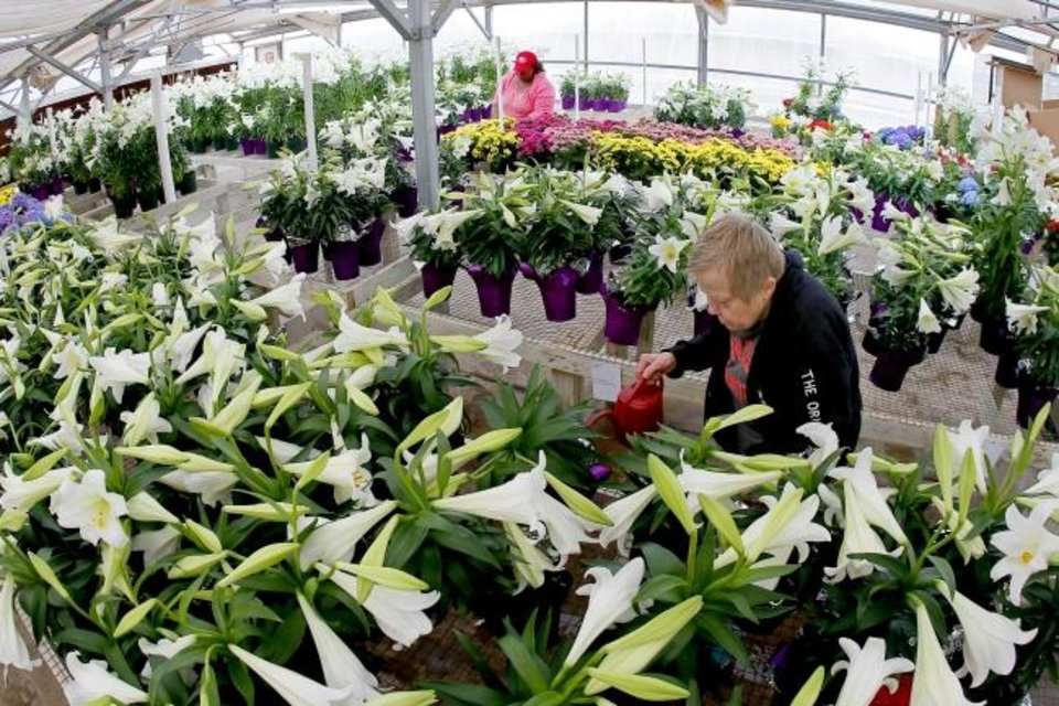 Photo -  Linda B. and Shay S. water Easter lilies inside a greenhouse at Kristy Lyn's Flowers & Gifts at the Center of Family Love in Okarche. [Bryan Terry/The Oklahoman]