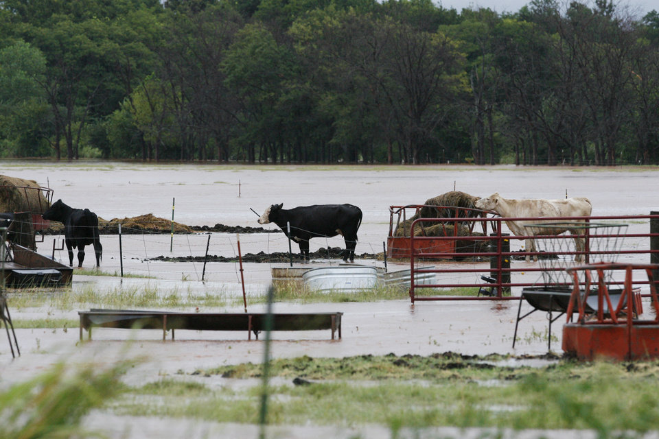 Photo - Cattle look for high ground in far northwest Oklahoma City Sunday Aug. 19, 2007. By James Plumlee, The Oklahoman.