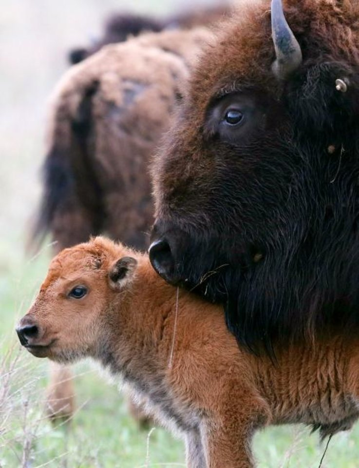 Photo -  A bison calf stands with its mother at the Nature Conservancy's Tallgrass Prairie Preserve near Pawhuska on April 12, 2017.  [Tom Gilbert/Tulsa World]