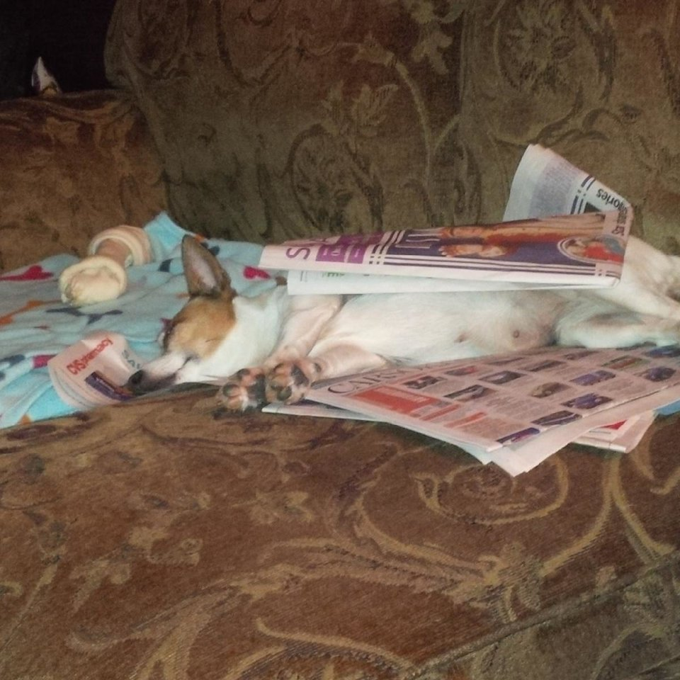 Photo - Marcy Cudd's Angel resting after reading the morning news in The Oklahoman.  Submitted by Marvin White