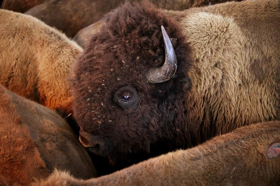 Photo - Bison are rounded up at the Tall Grass Prairie north of Pawhuska, Wednesday, October, 31, 2018. [Photo by Doug Hoke/The Oklahoman Archives]