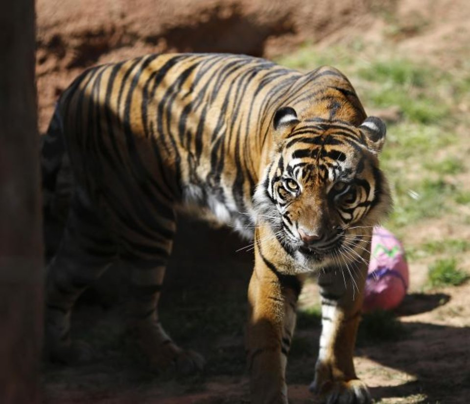 Photo -  A tiger walks past a papier-mache egg after the contents had been devoured by another tiger. Some animals at the Oklahoma City Zoo were given