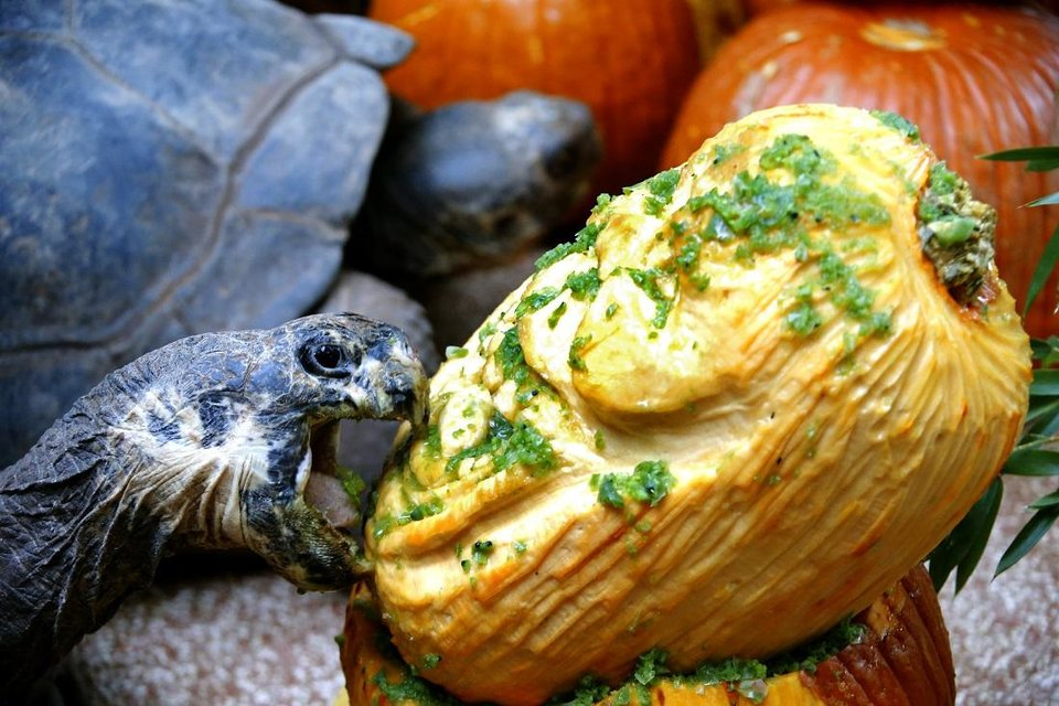 Photo - A Galapagos tortoise eats a pumpkin during the Oklahoma City Zoo and Botanical Garden annual Chomp and Stomp Halloween-themed enrichment event, Friday, Oct. 18, 2019. [Sarah Phipps/The Oklahoman Archives]