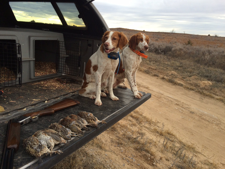 Photo -  Abby and Libby, two Brittany Spaniels, rest after a successful quail hunt last season. [Photo by James Dietsch]