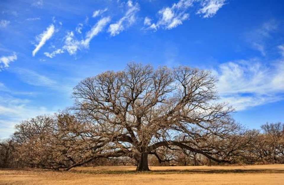 Photo -  The oak tree along Bluff Creek in northwest Oklahoma City, that inspired Dean A. McGee to name his farm here Lone Oak Farms, is to be the focal point of the future Lone Oak Park near State Highway 74 and NW 150. [Photo by Chris Landsberger, The Oklahoman]