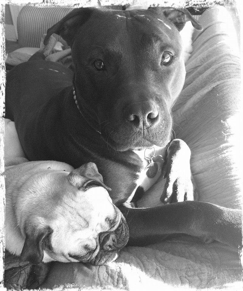 Photo - This is Capone!  He is a 6yr old Pitt Bull Rescue. He is the reason I fight for the breed!  Adopt! Don't Shop!!  Posting for LOOKatOKC issue. :) by Tanya Locke #newsoknow #Life