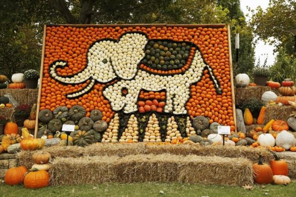 Photo -  Nathan Tschaenn, the Myriad Gardens' horticulture director, created an enormous elephant mosaic of white and orange mini pumpkins, with various squashes and plumper pumpkins for embellishment, as part of Pumpkinville in the Children's Garden. [Doug Hoke/The Oklahoman]