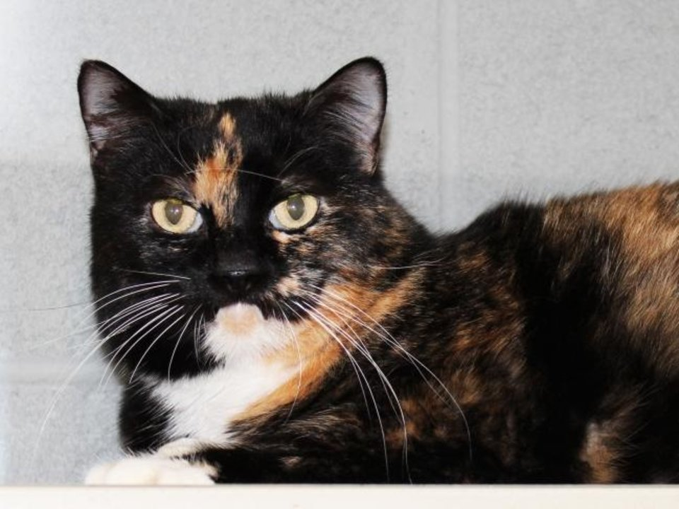 Photo -  Sheila is a beautiful, 6-year-old spayed female tortie domestic shorthair cat. She is very friendly and would love to sit in your lap all day. Sheila is available for adoption from the Edmond Animal Welfare Shelter, 2424 Old Timbers Drive. Her adoption fee is $25. Call 405-216-7615. [PHOTO PROVIDED]