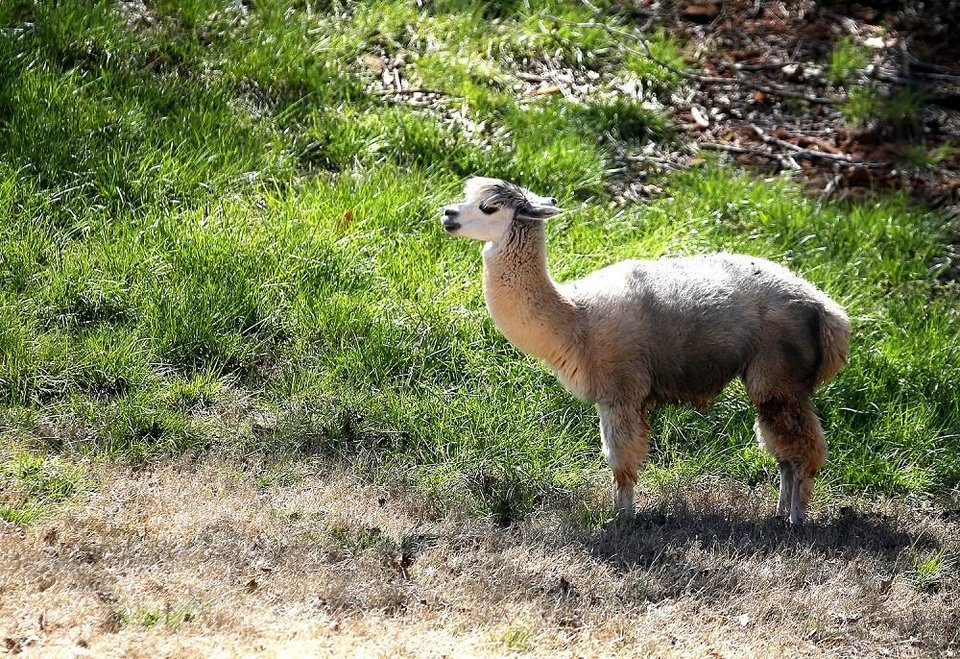 Photo - An alpaca walks in its habitat at the Oklahoma City Zoo and Botanical Garden in Oklahoma City, Okla., Thursday, March 26, 2020. The alpacas are among the animals that have been featured in the zoo's new daily digital series
