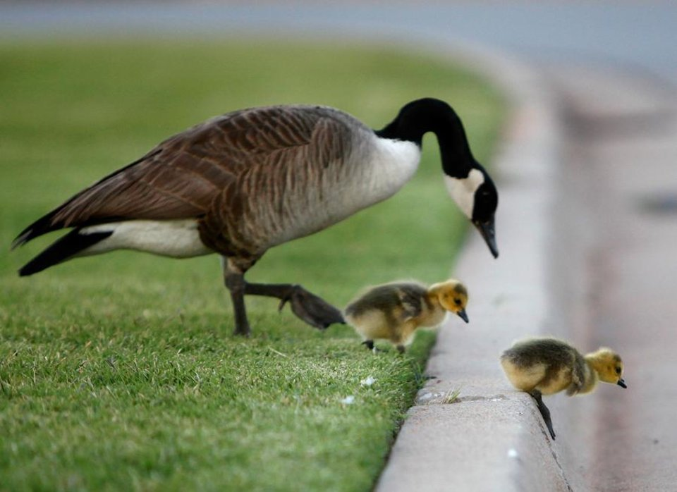 Photo -  An adult goose ushers baby geese over a curb on OPUBCO properties in Oklahoma Cit., Thursday, May 17, 2012. Photo by Sarah Phipps, The Oklahoman