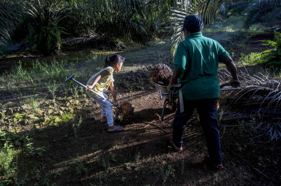 Photo -  A child helps her parents work on a palm oil plantation in Sabah, Malaysia, Monday, Dec. 10, 2018. Many children gather loose kernels and clear brush from the trees with machetes. (AP Photo/Binsar Bakkara)