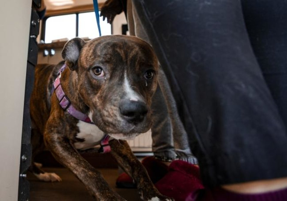 Photo -  Senor Guapo, a pit bull-Rottweiler mix, is dropped off at the Oklahoma Humane Society's mobile veterinary care unit as part of Best Friends of Pets' new