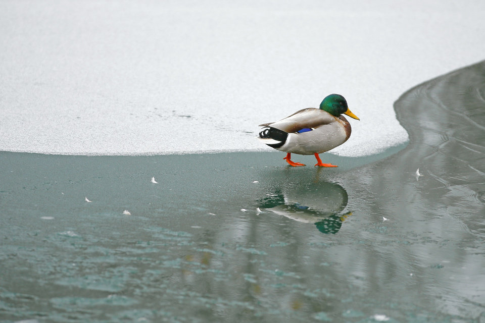 Photo - A duck walks over a frozen pond at Hafer Park in Edmond, Okla., Wednesday, Feb. 10, 2021. [Bryan Terry/The Oklahoman]