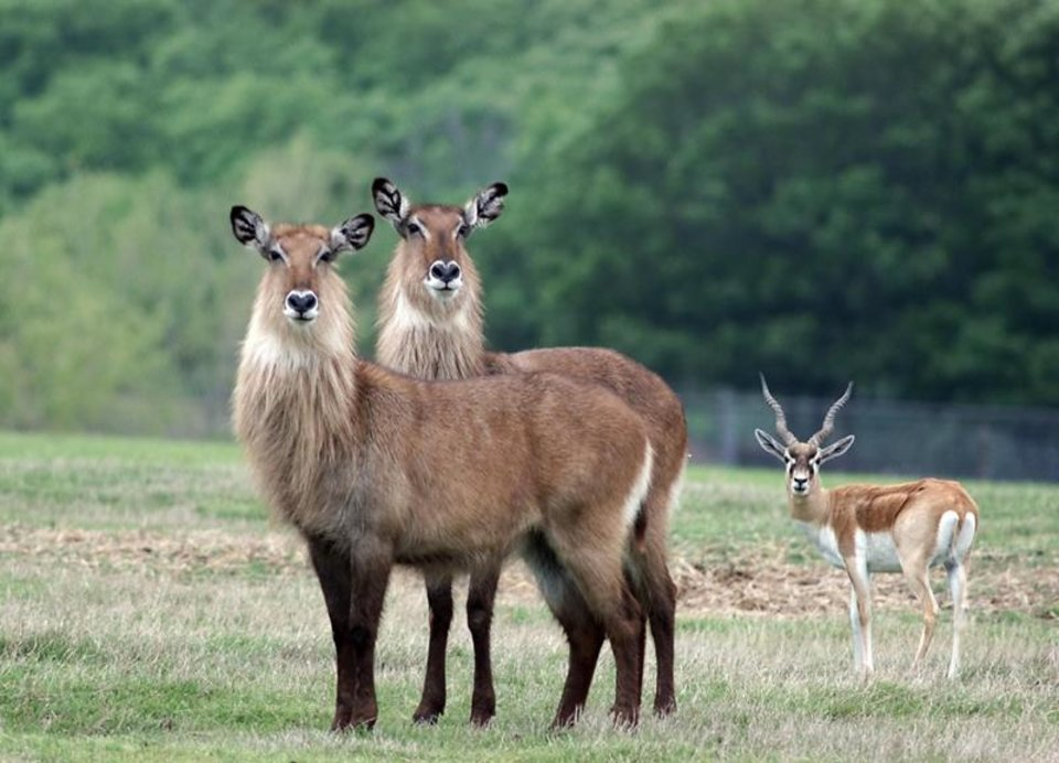 Photo - A pair of Deffassa water buck and a wildebeest eye visitors to Arbuckle Wilderness in southern Oklahoma. (STEVE SISNEY, THE OKLAHOMAN)