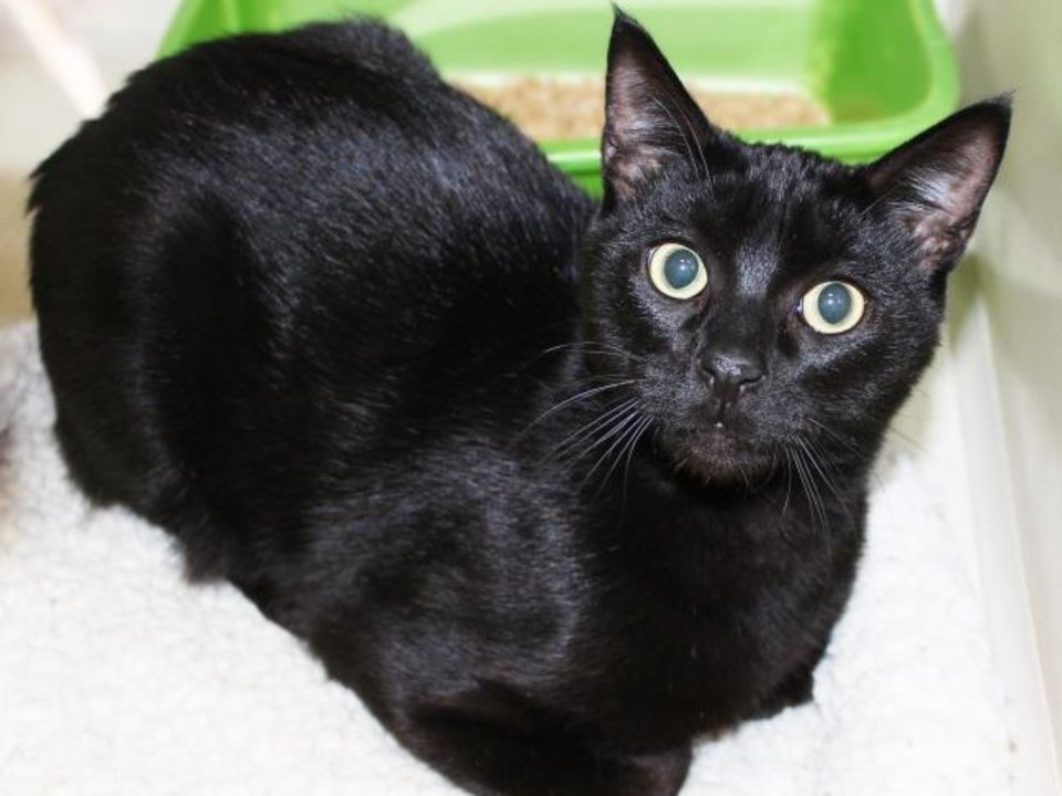 Photo -  Wicker is a black female domestic shorthair cat available for adoption. She is believed to be about 2 years old. She is friendly and very sweet.  Wicker is available for adoption from the Edmond Animal Welfare Shelter, 2424 Old Timbers Drive. Her adoption fee is $25. Call 405-216-7615. [PHOTO PROVIDED]