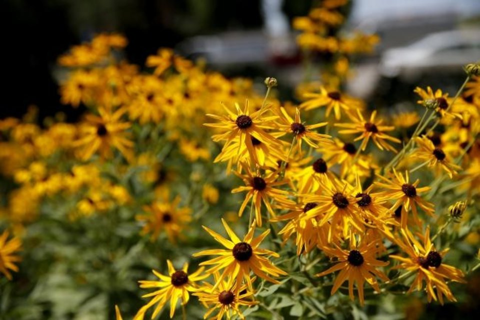 Photo -  Black-eyed Susans Flowers are pictured in the Waterwise garden at the Myriad Botanical Gardens in downtown Oklahoma City,  Thursday, July 11, 2019. [Sarah Phipps/The Oklahoman]