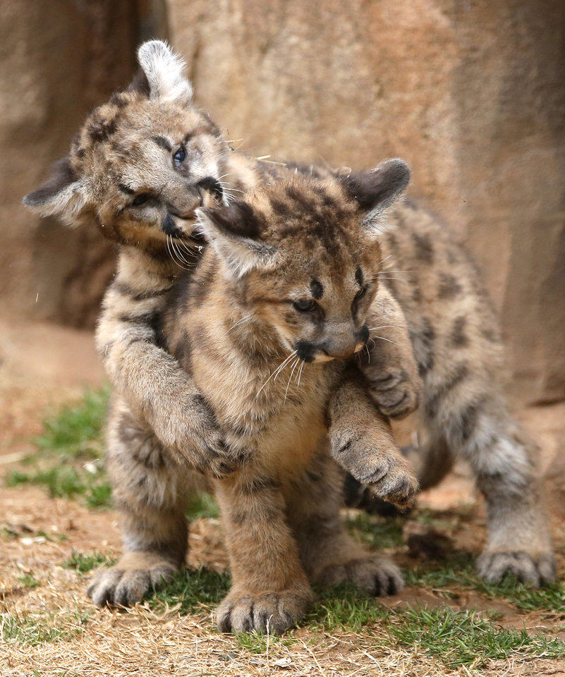OKC Zoo welcomes mountain lion cubs - Photo Gallery