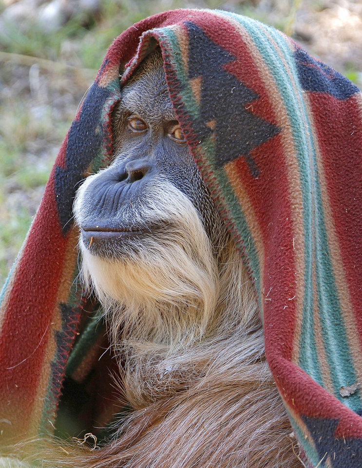 Photo -  Toba, a 50-year-old female orangutan, wraps up in her blanket Monday at the Oklahoma City Zoo and Botanical Garden in Oklahoma City. The Zoo will celebrate her 50th birthday on Sunday. [Photo By Steve Gooch, The Oklahoman]