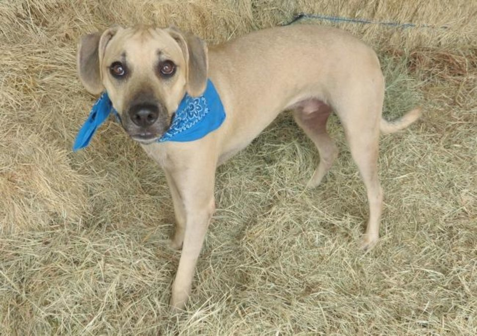 Photo -  Roland is a 9-month-old, 44-pound hound and Labrador mix. He has good manners and a happy attitude. Roland is an excellent playmate with other dogs. All he needs is a family to love. His number at the Oklahoma City Animal Shelter is 344236, and his adoption fee is $30. On Saturdays, the Waggin' Adoption Wagon will be in the shelter's parking lot along with a food truck from 11 a.m. to 4:30 p.m. Adoption dogs will also be in the shelter.   All pets are spayed or neutered, have a microchip, and have had age-appropriate shots and a health check. The shelter is open from noon to 5:30 p.m. seven days a week at 2811 SE 29. For more information, go to www.okc.petfinder.com and www.okc.gov. [PHOTO PROVIDED]