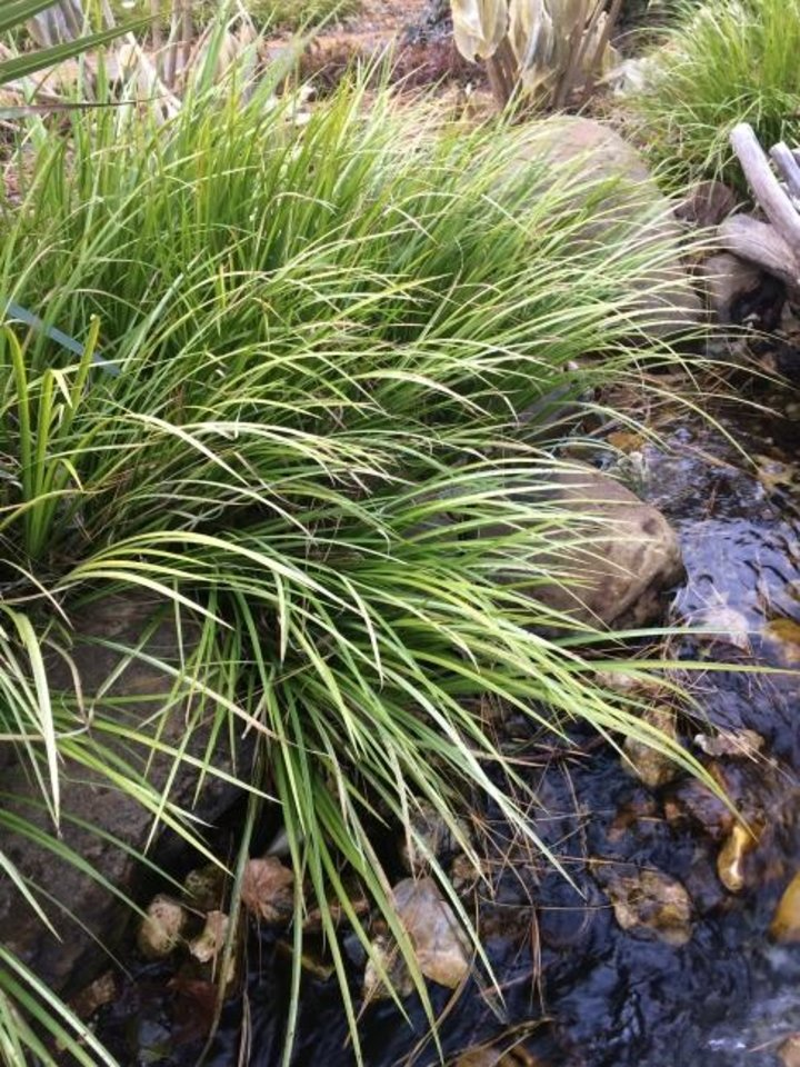 Photo -  Use the perennial sweet flag in areas that do not drain well.  [PHOTO PROVIDED/OSU EXTENSION]